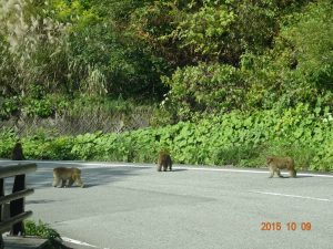 おまけ 帰りの有峰林道でサルの群れに遭遇、約20匹ほど